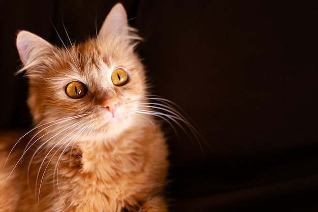 赤ショウガ猫のクローズアップの肖像画
