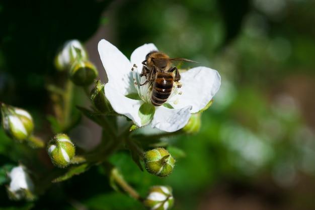 開花ブラックベリーブッシュとミツバチ、晴れた春の日