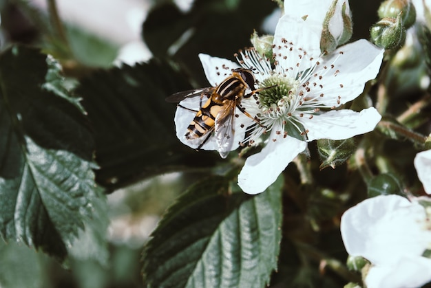ブラックベリーの花に縞模様のハエのクローズアップ