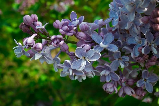 ライラックが咲きます。ライラックのクローズアップの美しい束。ライラックの開花。庭のライラックの花。