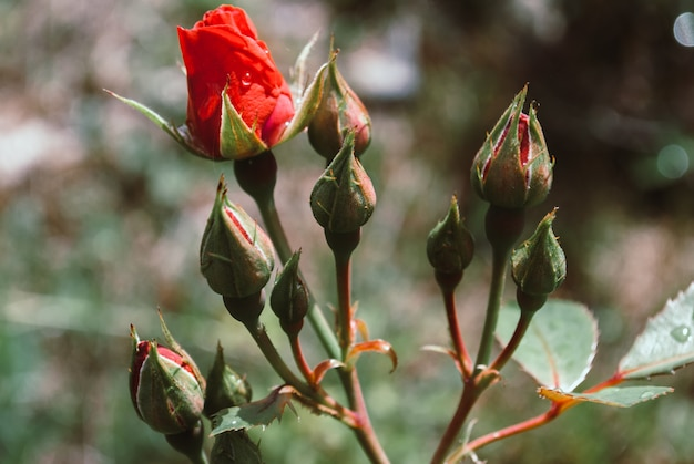雨滴と赤いバラのマクロ撮影を閉じる