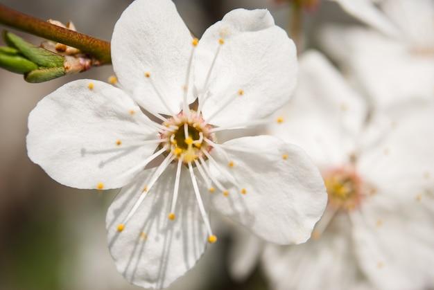 美しい桜の花。さくら