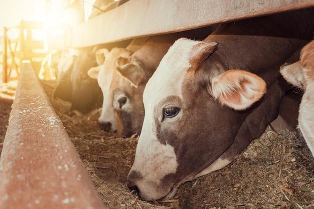 ブラジルの農場に閉じ込められた牛