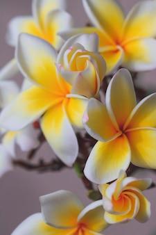 家の庭に咲くプルメリアの白と黄色の花