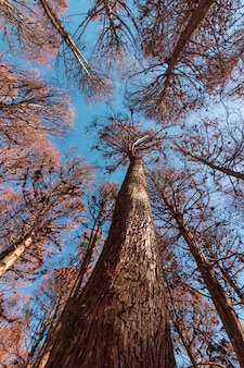 カンポス・ド・ジョルダン、サンパウロ、ブラジルのレッドパインの木の美しい景色