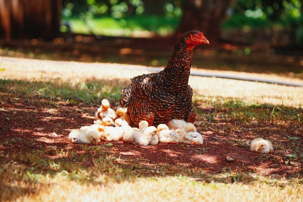 母鶏と農場でひっかくひよこ