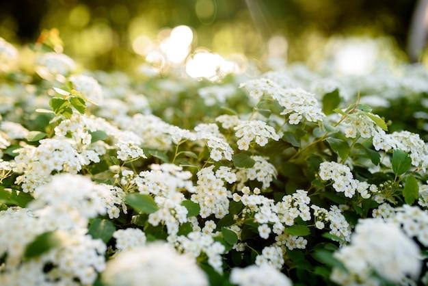 太陽の下で美しい白い花。