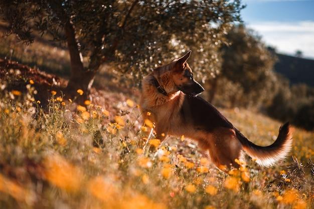 黄色の花とオリーブの木のフィールドで遊んでジャーマン・シェパード