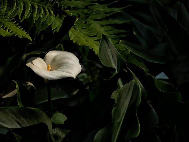 美しいオランダカイウユリ、白い花と緑の葉