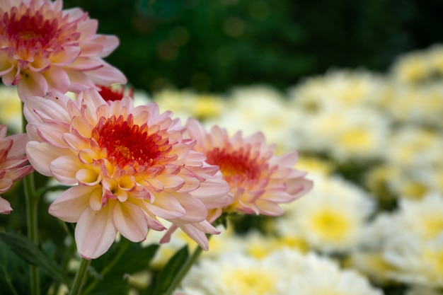 Красивый желтый и белый цветок хризантемы в саду