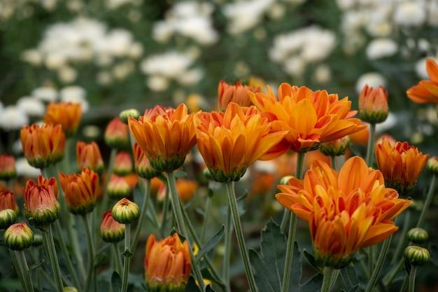 Красивый красный цветок хризантемы в саду