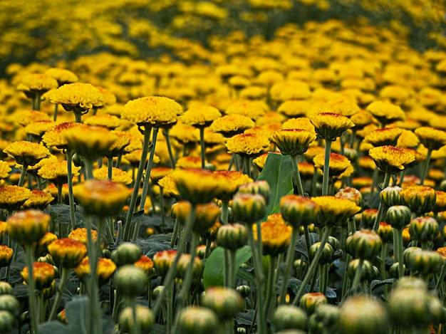 Красивый желтый цветок хризантемы в саду
