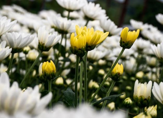 Красивый цветок белый и желтый цветок хризантемы в саду