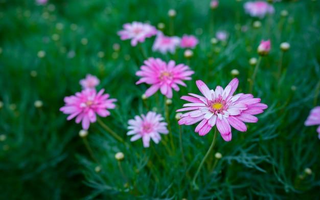 Красивый цветущий розовый сад цветов