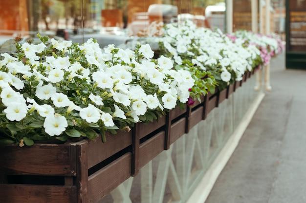 路上でレトロなプランターをぶら下げで咲く白いペチュニア