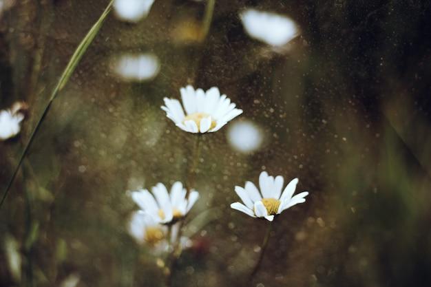 デイジーカモミールの分野で自然な背景をぼかした写真