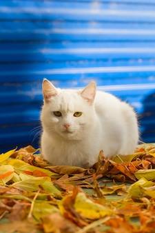 青色の背景に黄色の落ち葉の秋に座っているかわいい白猫