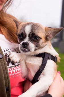 Симпатичная собачка смешанной породы сидит на руках женщины