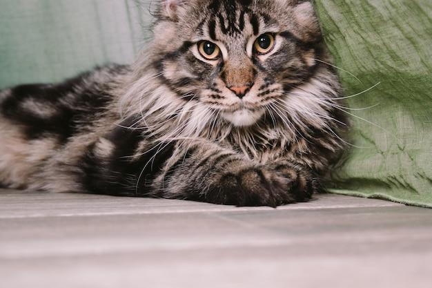 床に横になっている大きなふわふわメインクーン猫の肖像画を間近します。