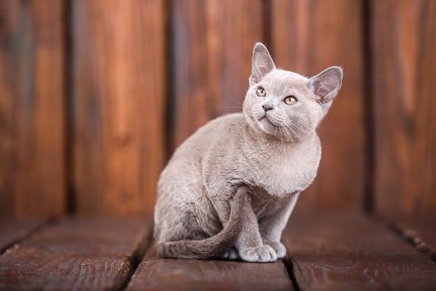 ヨーロッパのビルマ猫、灰色、茶色の木製の背景の上に座っての品種