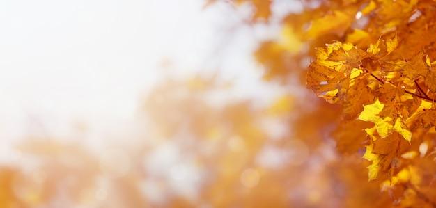 秋の黄色のカエデの葉の自然な背景