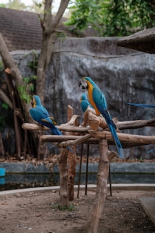 Синие и желтые ара стоят на палочке.