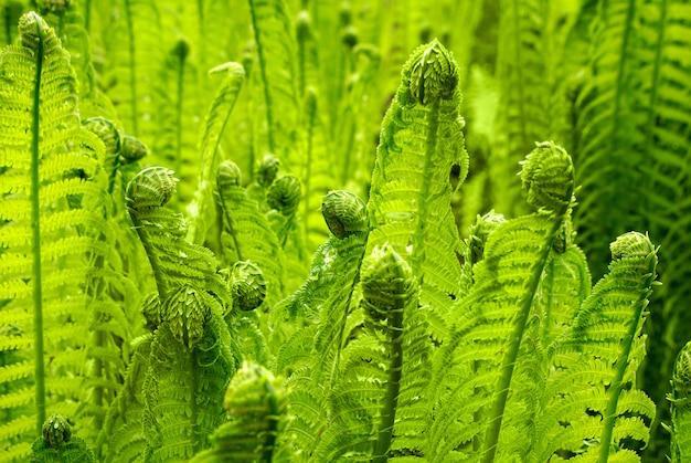 美しい若い緑シダは早春の森で育ちます