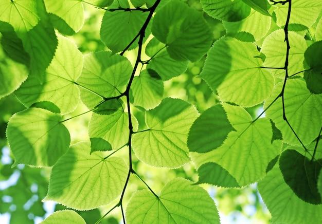 新鮮な緑の葉が日光に輝いて