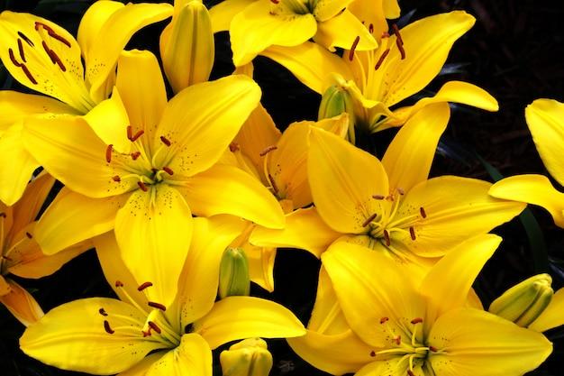 Красивая желтая лилия