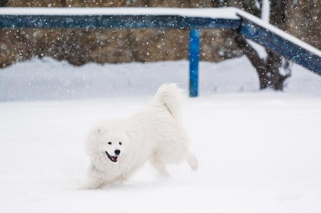 Самоедская собака играет на детской площадке зимой в снегу