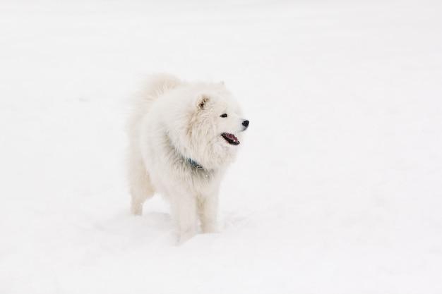 Породный молодой красивый самоедский пес белого цвета стоит на снегу