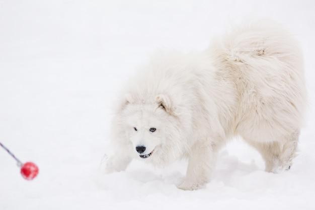 Игривая самоедская собака играет с игрушкой зимой