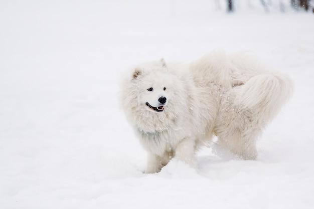 Молодая собака самоедская белая в снегу на детской площадке