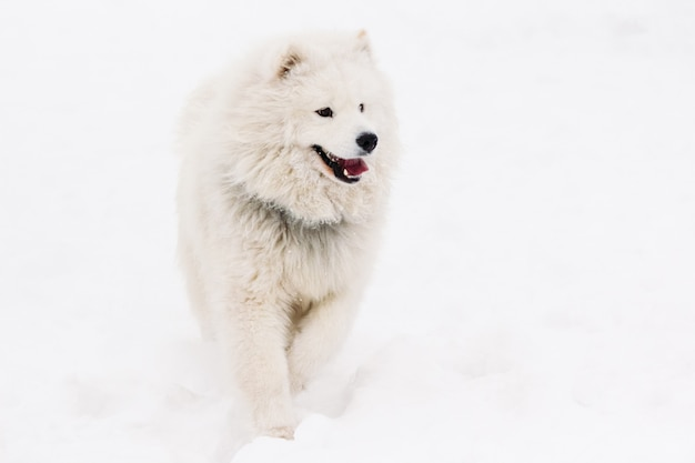Собака самоед светлый окрас зимой