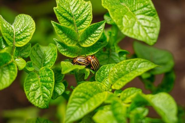 ジャガイモの葉にコロラドハムシ