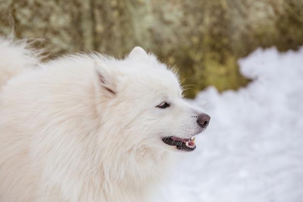 Самоедская собака морда крупным планом