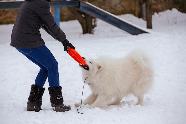 Активная самоедская собака играет с мужчиной