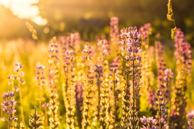 バックライト付きの日光の下で紫の野生のルピナスの花