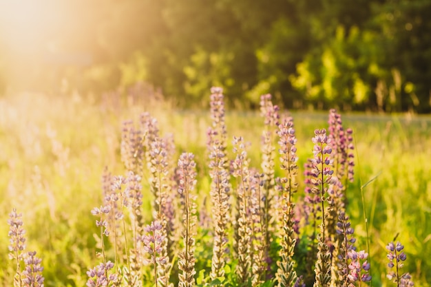 Фиолетовые цветы растения люпина в солнечном летнем свете