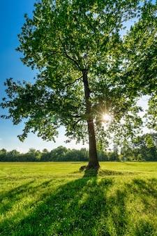 夏の枝に太陽と緑のオーク