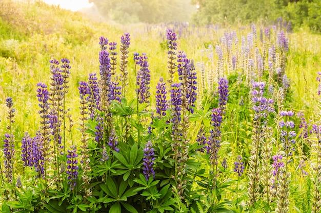 Красивые кустарники люпина с цветущим бетоном