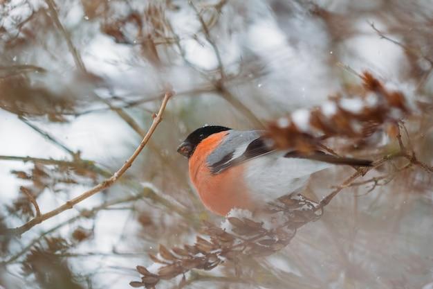 赤い胸を持つ鳥ウソ男性