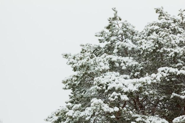 降雪後の松の枝