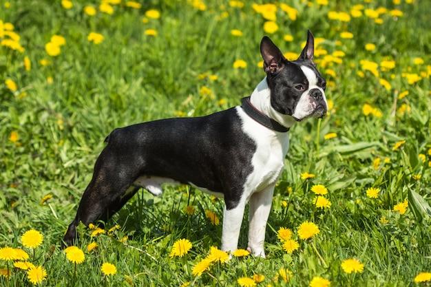 Бостон терьер собака позирует в траве и одуванчиках
