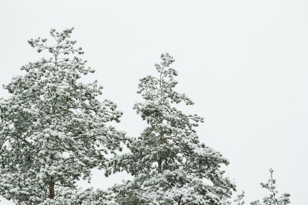 雪の中で松の木の枝
