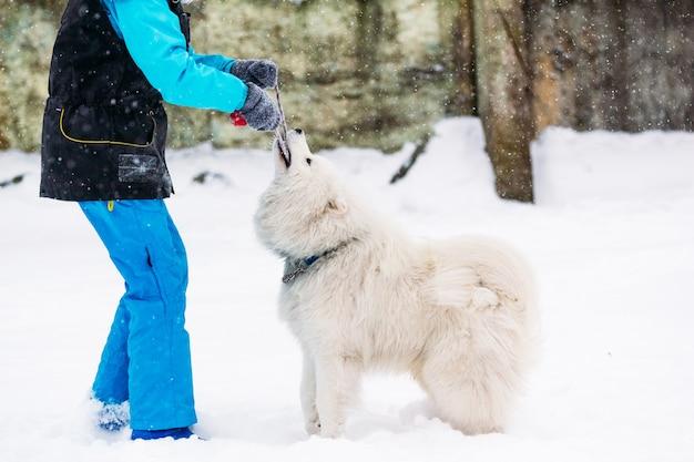Красивая самоедская собака зимой играет с девушкой