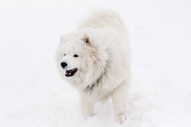 Собака самоед на снегу зимой