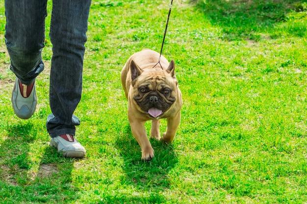 Щенок французского бульдога на прогулке по зеленой траве