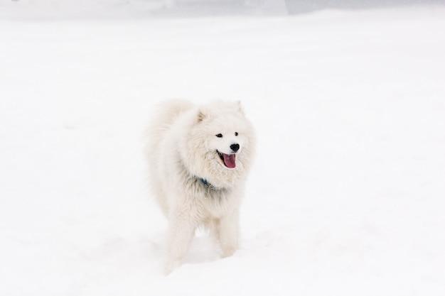 Самоедская собака молодая в снегу