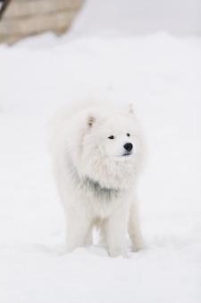 Собака самоедская собака стоит на снегу